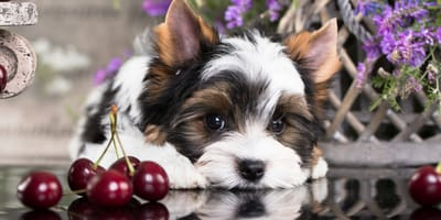 Can my dog eat cherries?