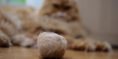 Por qué tu gato vomita bolas de pelo