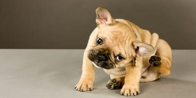 Desparasitación de cachorros interna y externa y desparasitación después de los 6 meses de edad