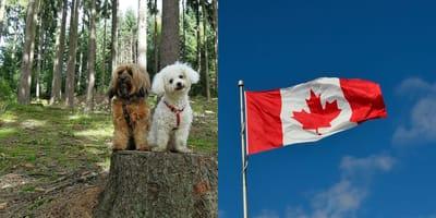 perritos Canadá