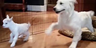 Szczeniaka golden retriever odwiedza nietypowa koleżanka: jego reakcja jest bezcenna! (VIDEO)