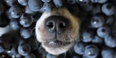 Czy pies może jeść borówki? Czy są dla niego zdrowe?