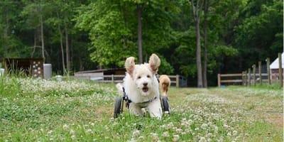 cagnolino-bianco-corre-sul-prato-con-il-carrellino