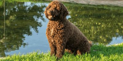 Een bruin-zwarte hond