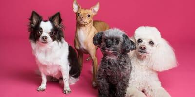 perros de diferentes razas en un fondo rosa