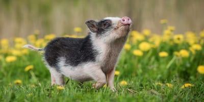 Minischweine als Haustiere: Drei gute Gründe, warum du es lassen musst!