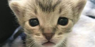 Tiny tabby kitten