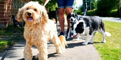 Paseador de perros: precio y tarifas en España 2021