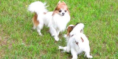 Come giocano i cani tra loro e capire se litigano o no?