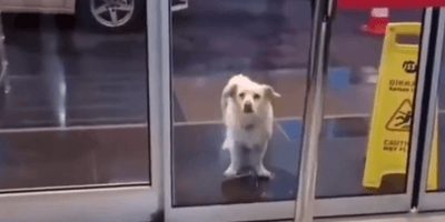 White dog waits outside hospital