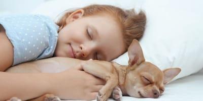 chihuahua-beige-dorme-tra-le-braccia-di-una-bambina