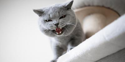 Blazende kat of een kat die gromt? Dit moet je weten