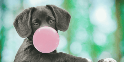 ¿Qué pasa si un perro come chicle?