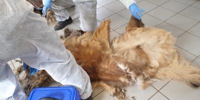 Hund liegt auf Boden und wird geschoren