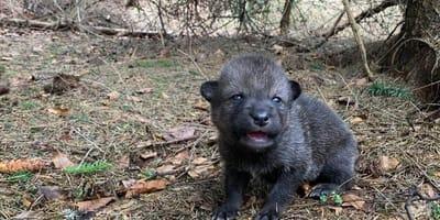 Escursionisti portano a casa un cucciolo ignari dell'errore commesso