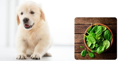 Si possono dare gli spinaci ai cani? Fido e gli ortaggi