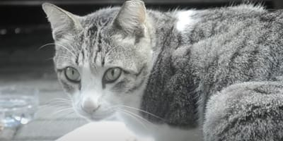 tabby cat in black and white photo