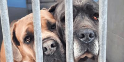 68 honden in beslag genomen bij fokker in Booischot