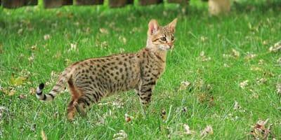 Großer Hype um Savannah-Katze: Experten schlagen Alarm!