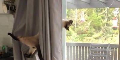 Kot zawieszony na zasłonie.