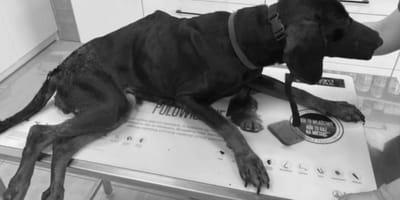 cane-nero-in-pessime-condizioni-dal-veterinario