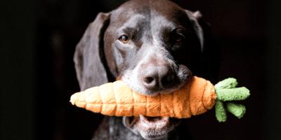 Hond eet wortel
