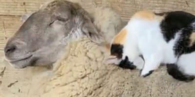 Kot i owca