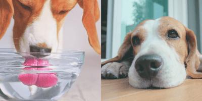 ¿Por qué mi perro vomita agua después de tomarla?