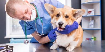 Robaki u psa – po czym poznać, że pies ma robaki?