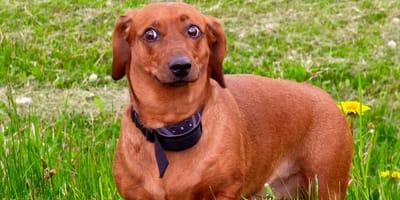 Collar eléctrico para perros: por qué no debes utilizarlo según los educadores caninos