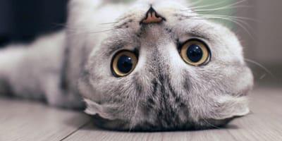 Il Belgio vieterà l'allevamento di 4 razze di gatti: ecco quali