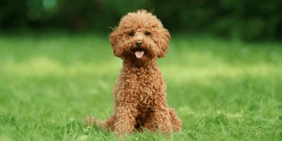 Maltipoo: een kleine, trouwe familiehond