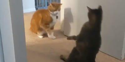 Nokaut jednym ciosem: ten kot z łatwością pokonałby Nejmana (VDEO)