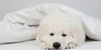Miasi del cane: cos'è e quali sono i rimedi?