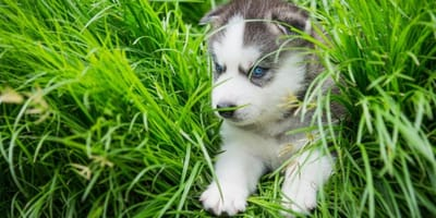 cachorro de husky en el jardin