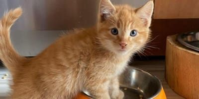 Little ginger kitten with front paws in bowl