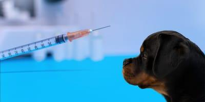 Leishmaniosis en perros:  precio del tratamiento, síntomas y prevención