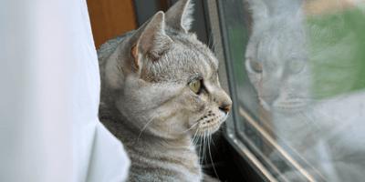 Vermiste kat kijkt uit raam