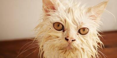 pulgas gatos remedios caseros