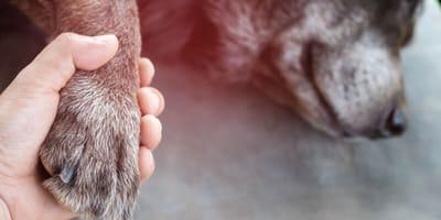 perro dormido en el veterinario