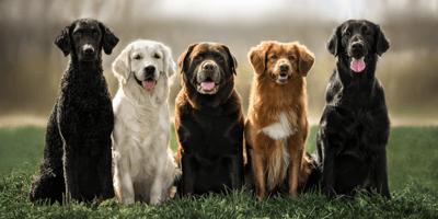 Retriever soorten: van jachthond tot gezinshond