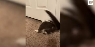 gato intentado pasar por debajo de la puerta