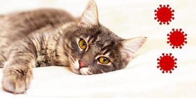 Parvovirus en gatos: qué es, cómo se contagia, síntomas y tratamiento