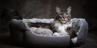 Le 10 razze di gatti muscolosi e forti! (Foto)