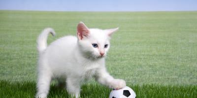 Ecco i migliori gatti che giocano a calcio! (Video)