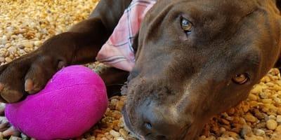 Una perrita pitbull cruzada con bull terrier por fin encuentra la felicidad tras 4 años en el refugio