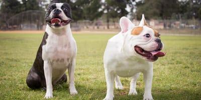 Małe psy krótkowłose - poznaj najpopularniejsze rasy