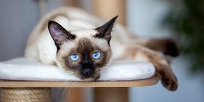 Foto de gato siamés descansando