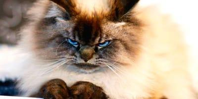 merlin gato ragdoll enfadado instagram