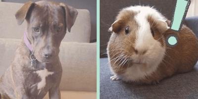 Adopta un pitbull: cuando se lo presenta a sus cuyos nada sale como esperaba